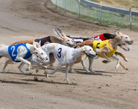 المراهنة على سباقات الكلاب السلوقية